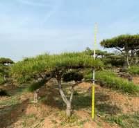 批发造型油松 高1.6m-2.5m造型油松 绿化树现货专用造型油松
