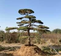 造型油松供应 厂家 定制 品质 顺风苗木