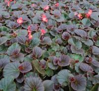 室内绿化 四季海棠盆栽价格  净化空气 美化阳台  基地直发 价格优惠