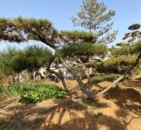 造型油松供应 厂家 定制 可靠 顺风苗木