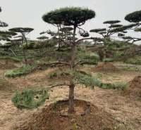 顺风苗木种植 工程苗 湿地种植 2-3.5米造型工程苗 种类规格齐全 移栽三年