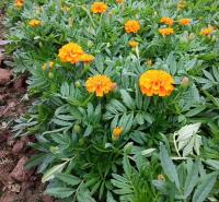 一年生草本植物 孔雀草小苗盆栽培育基地 孔雀草批发