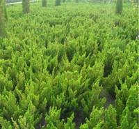 格圣 小龙柏批发  小苗易成活 多用于园林打造 道路绿化等