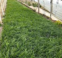 青绿苔草 青绿苔草种植基地 绿化工程用苗