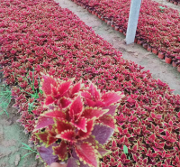 盆栽彩叶草 基地供应 彩叶草种植基地