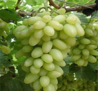 耐运输 即食鲜葡萄 葡萄品种 大量上市