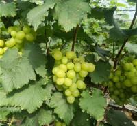 供应 品相好葡萄 绿色维多利亚葡萄 种植基地采摘