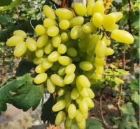 供应 即食鲜葡萄 绿色维多利亚葡萄 大量上市