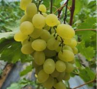 耐运输 即食鲜葡萄 绿色维多利亚葡萄 种植基地采摘