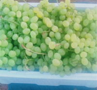 口感好 即食鲜葡萄 绿色维多利亚葡萄 大量上市
