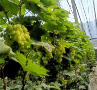 耐运输 品相好葡萄 绿色维多利亚葡萄 直销