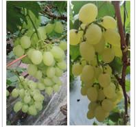供应 品相好葡萄 绿色维多利亚葡萄 直销