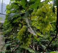 现摘葡萄 青提葡萄 潍坊寿光供应葡萄 温室种植