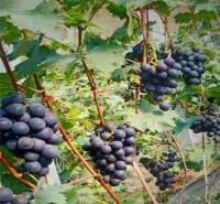 果园基地现摘 即食葡萄 新鲜巨峰葡萄 现摘现发