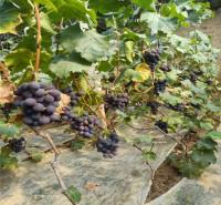 果穗自然 运输发货快 巨峰葡萄 果粒大小均匀