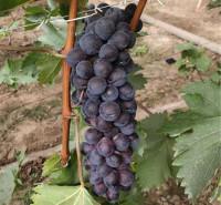 果园基地现摘 即食葡萄 新鲜巨峰葡萄 量大价优