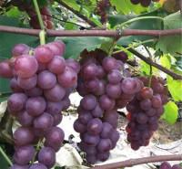耐储运葡萄 酸甜粒大葡萄 巨峰葡萄 果粒大小均匀