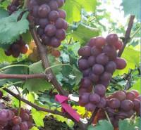 寿光葡萄 运输发货快 巨峰葡萄 现摘现发