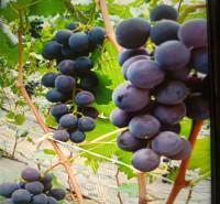 果园基地现摘 即食葡萄 巨峰葡萄 现摘现发