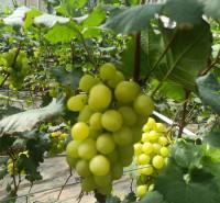 黄绿色葡萄苗 果粒着生紧密 果肉鲜脆多汁 葡萄种苗