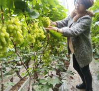 玫瑰香味葡萄苗 山东葡萄 带技术葡萄苗 葡萄种苗