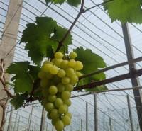 黄绿色葡萄苗 金百 带技术葡萄苗 培育基地发货