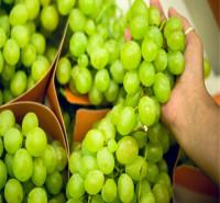 黄绿色葡萄苗 果粒着生紧密 可教技术葡萄苗 批发零售