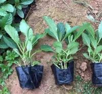 柳叶马鞭草  喜阳光温暖 耐旱 花色艳丽 群体效果非常壮观  多用于花海种植