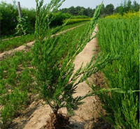 四季常绿小龙柏苗 绿化工程用苗价格 长势旺盛