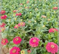 观花盆栽 百日草批发基地 喜温暖不耐寒 时尚园艺
