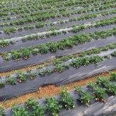 山东草莓专用膜 草莓专用膜批发商 草莓专用膜大量供应