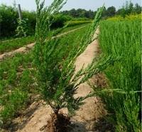 四季常绿灌木 小龙柏供应商  龙柏小苗接预定 开春发货