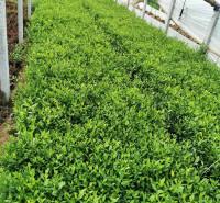 哪里有3高度5公分金绿叶水蜡带土盆苗 紫叶水蜡小苗批发 金叶水蜡基地