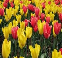 郁金香小苗 多色系观赏花卉 花朵大而艳丽 花色丰富 郁金香花海 郁金香价格