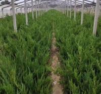 小龙柏小苗供应  四季常绿 可用于园林种植 道路绿化等 移栽易成活 龙柏小苗报价