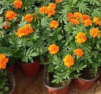 一年生草本植物 孔雀草小苗批发 爱燕花卉基地直供