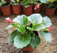四季海棠盆栽供应  室内观赏植物四季海棠 环境美化 净化空气