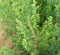 小龙柏小苗 四季常绿灌木 长势旺盛 移栽成活概率高 预售中 开春发货