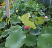 俊红  绿化荷花供应商  湿地绿化用荷花