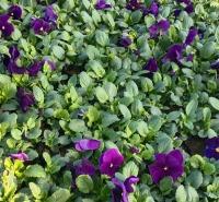 耐寒角堇报价  鑫朵大量出去角堇小苗 花色丰富 观赏性好