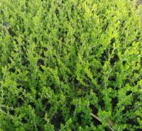 营养杯苗种植基地 金叶水腊 量大优惠 金叶水腊基地