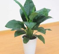 万年青出售 万年青供应商  观叶植物小盆栽