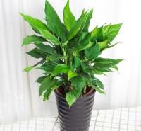 苗木欣赏万年青出售     植物盆栽万年青
