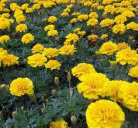 花卉苗木基地  孔雀草报价 孔雀草大量供应  批发优惠