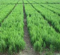 采购基地 山东侧柏树苗 侧柏树苗种植基地