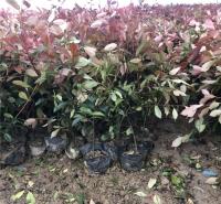 苗圃供应大杯红叶石楠 山东大杯红叶石楠 红叶石楠种植
