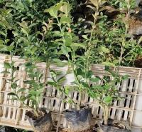 卫矛绿化苗 现货供应卫矛绿化苗 卫矛绿化苗销售