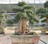 对节白腊造型树 对节白腊价格 青州对节白腊基地