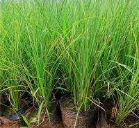 地被绿化细叶芒 同丰 屋顶绿化细叶芒工程苗 观赏草批发