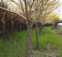 耐寒耐旱黄金槐树苗 多种株高黄金槐树苗 绿化苗木黄金槐基地